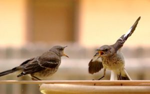 mocking birds arguing