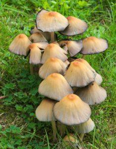 Team of Mushrooms